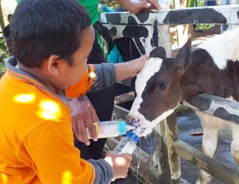 Anak-anak sedang memberi minum sapi
